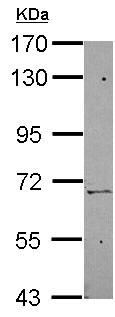Western blot - Anti-ZNF319 antibody (ab154715)