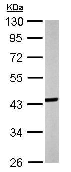 Western blot - Anti-Septin 3 antibody (ab154734)