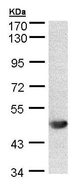 Western blot - Anti-ALG1 antibody (ab154737)