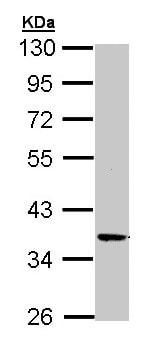 Western blot - Anti-PRKX antibody (ab154739)