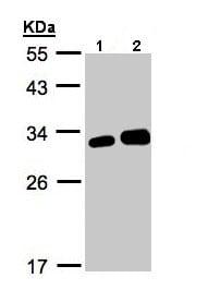 Western blot - Anti-LXN antibody (ab154744)