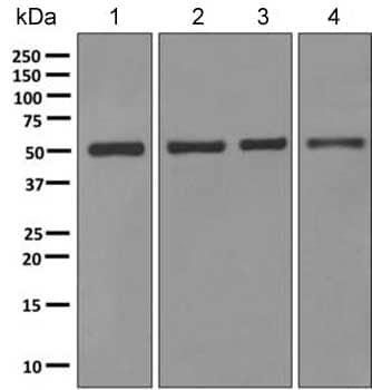 Western blot - Anti-Aspartyl Aminopeptidase antibody [EPR10301] (ab154805)