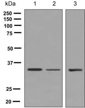 Western blot - Anti-SDOS antibody [EPR9641] (ab154808)