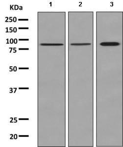Western blot - Anti-Tbx3 antibody [EPR10366(B)] (ab154828)