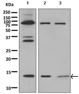 Western blot - Anti-PEN2 antibody [EPR9200] (ab154830)