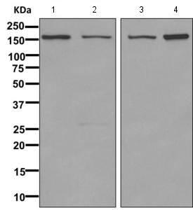 Western blot - Anti-DNMBP antibody [EPR10015] (ab154836)