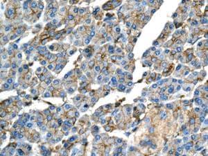 Immunohistochemistry (Formalin/PFA-fixed paraffin-embedded sections) - Anti-GBGT1 antibody [EPR10467] (ab154837)