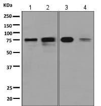 Western blot - Anti-SH3KBP1 antibody [EPR7880(2)] (ab154858)