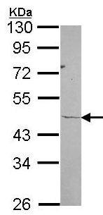 Western blot - Anti-RPL3 antibody (ab154882)
