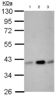 Western blot - Anti-CIAPIN1 antibody (ab154904)