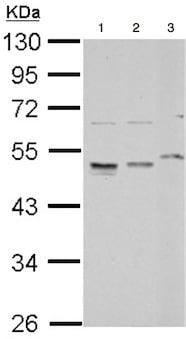 Western blot - Anti-RPL4 antibody (ab154907)