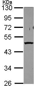 Western blot - Anti-PSMC5 antibody (ab154908)