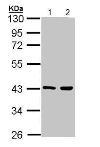 Western blot - Anti-MEK3 antibody (ab154913)