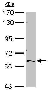Western blot - Anti-PTBP2 antibody (ab154920)