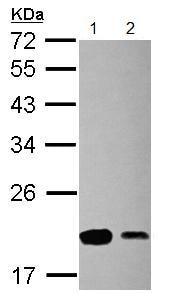 Western blot - Anti-RPS15 antibody (ab154936)