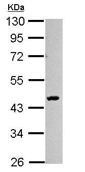 Western blot - Anti-SMYD3 antibody (ab155018)