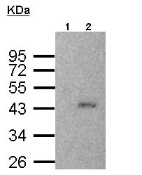 Immunoprecipitation - Anti-SMYD3 antibody (ab155018)