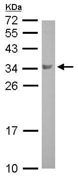 Western blot - Anti-BOULE antibody (ab155027)