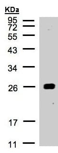 Western blot - Anti-14-3-3 alpha + beta antibody (ab155032)