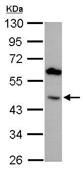 Western blot - Anti-BMP4 antibody (ab155033)