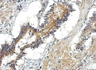 Immunohistochemistry (Formalin/PFA-fixed paraffin-embedded sections) - Anti-TBC1D15 antibody (ab155035)