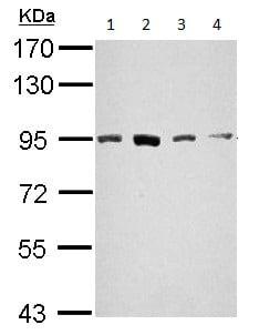 Western blot - Anti-STAT5a antibody - C-terminal (ab155036)