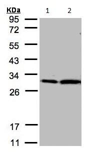 Western blot - Anti-14-3-3 zeta antibody (ab155037)