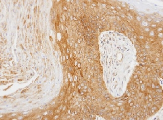 Immunohistochemistry (Formalin/PFA-fixed paraffin-embedded sections) - Anti-14-3-3 zeta antibody (ab155037)