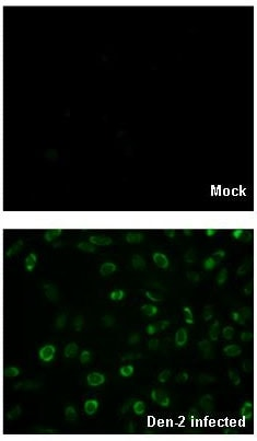 Immunocytochemistry/ Immunofluorescence - Anti-Dengue Virus 2 antibody (ab155042)