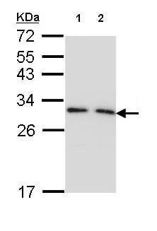 Western blot - Anti-14-3-3 gamma antibody (ab155050)