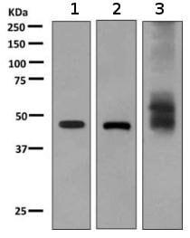 Western blot - Anti-RHAG antibody [EPR10011] (ab155094)