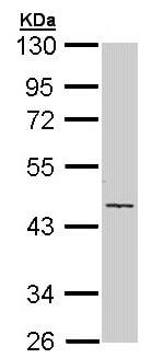 Western blot - Anti-Cytokeratin 19 antibody (ab155118)