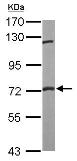 Western blot - Anti-FXR1 antibody (ab155124)