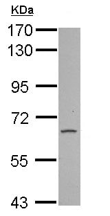 Western blot - Anti-FAM73A antibody (ab155134)
