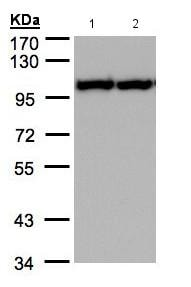 Western blot - Anti-VCP antibody (ab155146)