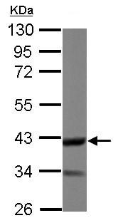 Western blot - Anti-DOC2A  antibody (ab155168)