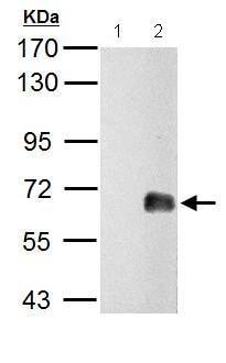 Western blot - Anti-ZNF703 antibody (ab155210)