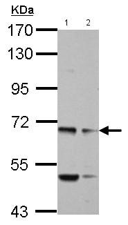 Western blot - Anti-MYO19 antibody - N-terminal (ab155219)