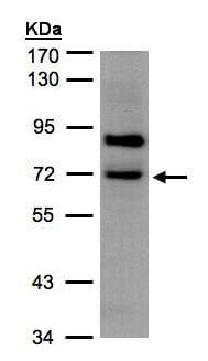 - Anti-SLC20A2 antibody (ab155259)