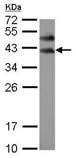 - Anti-BOULE antibody (ab155261)