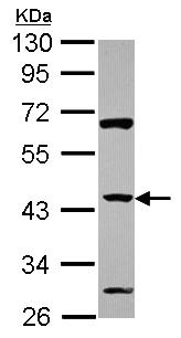 Western blot - Anti-ZNF2 antibody (ab155303)