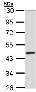 Western blot - Anti-TULP3  antibody (ab155317)