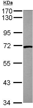 Western blot - Anti-Lamin B2 antibody (ab155319)