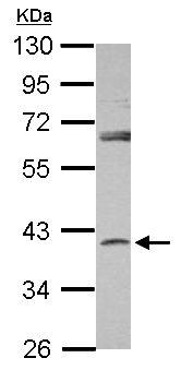 Western blot - Anti-SerpinB7 antibody (ab155483)
