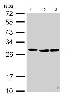 Western blot - Anti-SFRS9 antibody (ab155484)