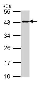 Western blot - Anti-DAP3 antibody (ab155499)