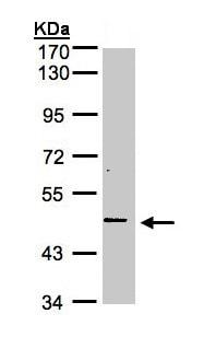 Western blot - Anti-DR3 antibody (ab155531)