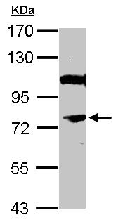 Western blot - Anti-NOR1 antibody (ab155535)