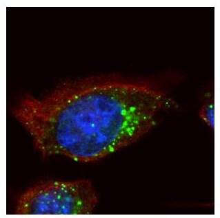 Immunocytochemistry/ Immunofluorescence - Anti-HGS antibody - C-terminal (ab155539)