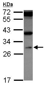 Western blot - Anti-WDR61 antibody (ab155540)